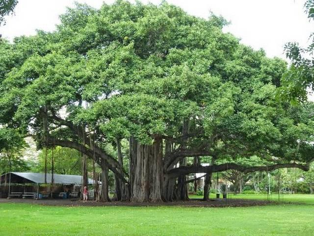 ओडिशा में 500 वर्ष पुराने बरगद के पेड़ को पर्यटन स्थल का दर्जा मिला