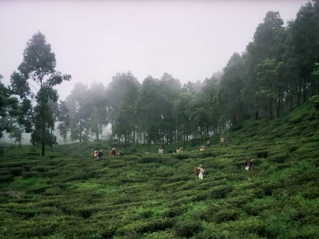 india's costly tea