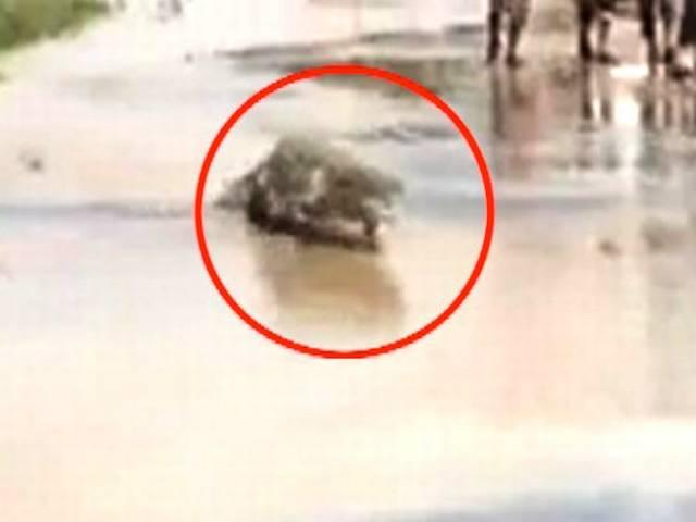 crocodile on road