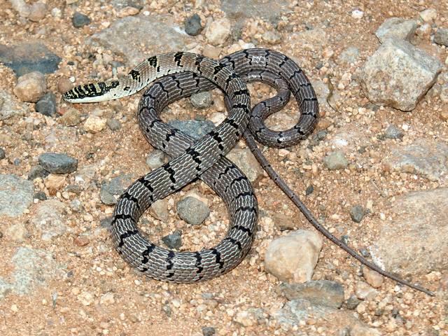 Sri Lankan flying snake sighted in India