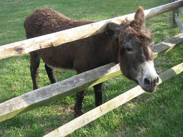 donkey_Karnataka_