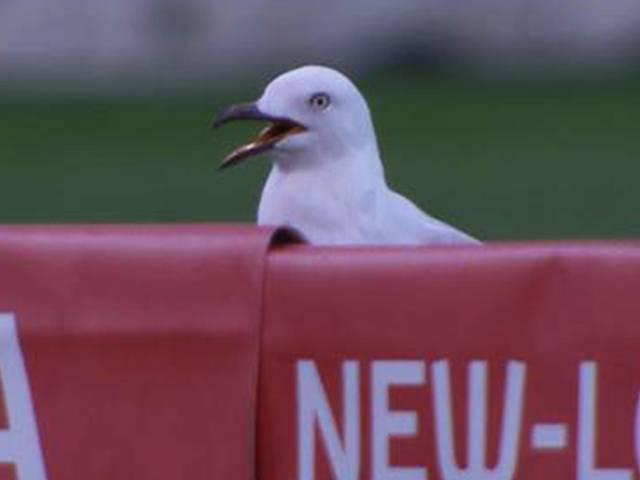 Seagull_Australia_Melbourne_Big Bash League_