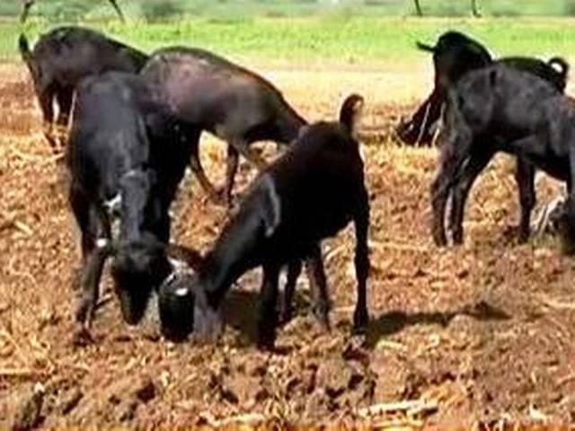 लखनऊ में बिक रहे 40 हजार रुपये के बकरे