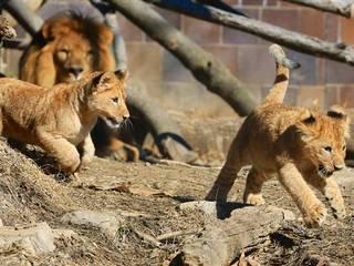 Pakistan Lion Cubs