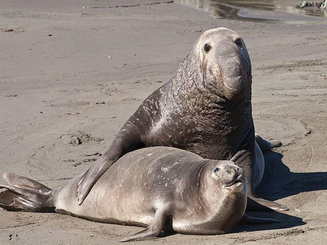 female seal and its habits