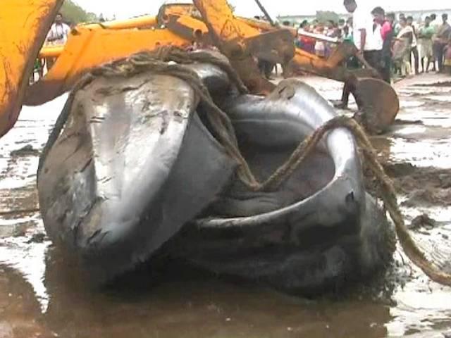 Blue Whale washed ashore at Mumbai beach