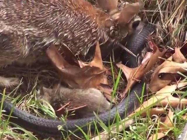 Mommy Rabbit fights with Snake to save the bunnies – Original Video