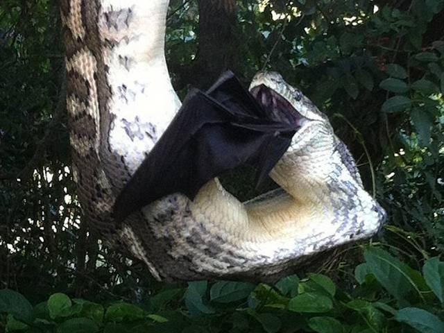 python-swallows-huge-BAT-hangs-tree