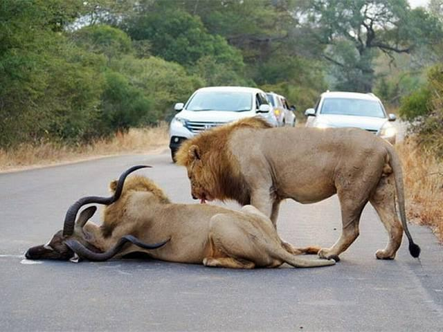 lions-kill-a-kudu-between-cars