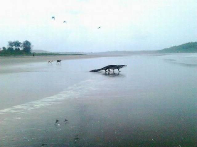 Crocodile spotted on Goa beach, photos go viral
