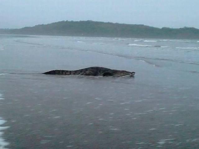 Crocodile spotted at Goa beach, photos go viral