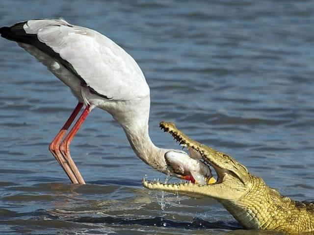 Incredible moment a stork nearly becomes a crocodile's lunch