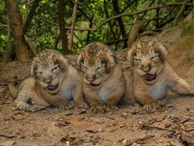 11 New Lion Cubs at Gir Sanctuary in Gujarat