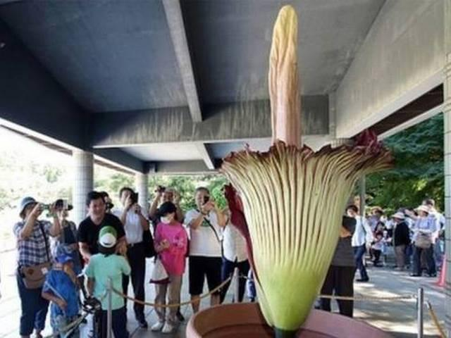 Amorphophallus Titanum: World's Largest Flower Blooms in Tokyo Park for 1st Time in 5 Years