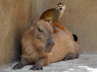 squirrel monkey rides on the back of a capybara at a Zoo Tokyo, japan