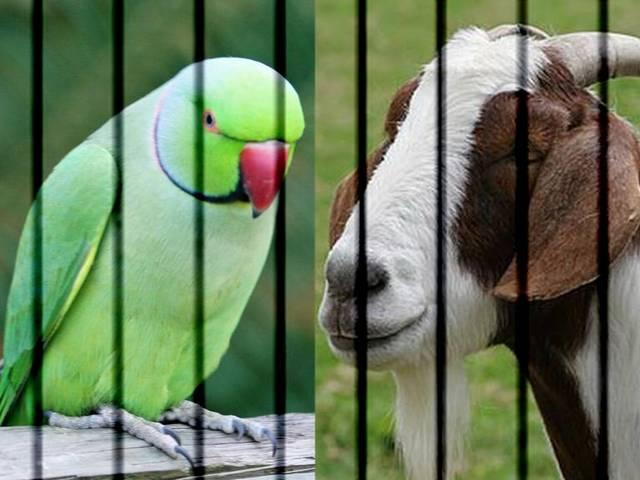 After Parrot, Goat Gets into Trouble with Maharashtra Police