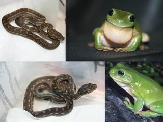 green_tree_frog_carpet_python