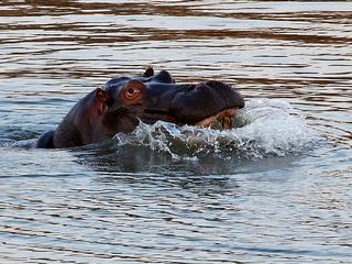 Hippo_riverbank_lions