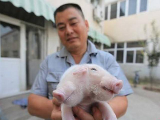pig baby was born with two heads and three ears in china's Tianjin
