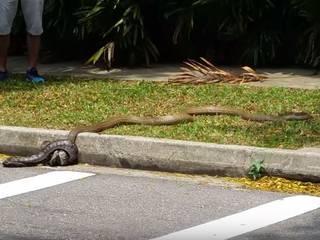 Python fights king cobra on Singapore street