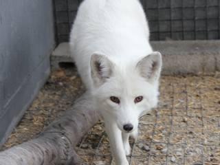 Pet_dog_turns out_fox_China