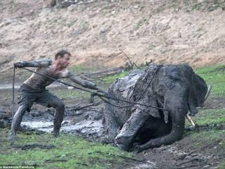 Safari guides risked their lives to save young elephant stuck in mud