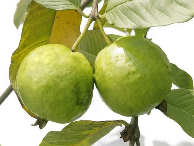reasons to eat guavas this season!