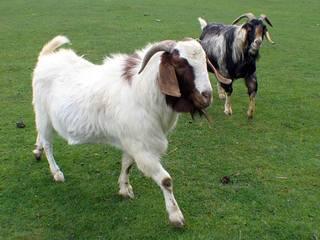 मध्य प्रदेश: सांसद की चोरी हुई बकरियों को महज 24 घंटे में खोज निकाली पुलिस