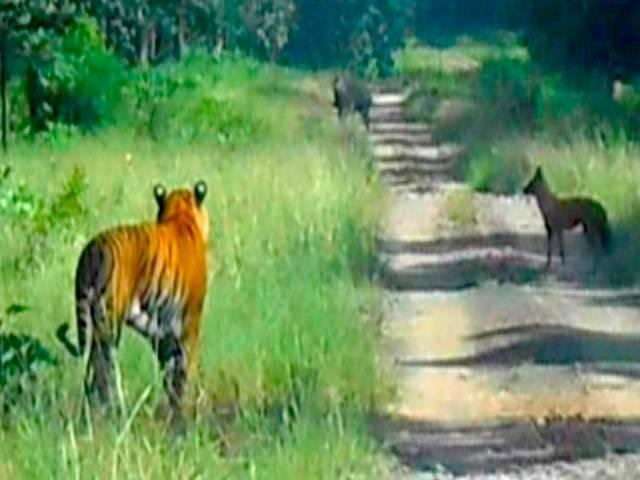 tiger runs away from dogs
