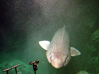 Elusive and VERY ugly shark captured off the Scottish coast