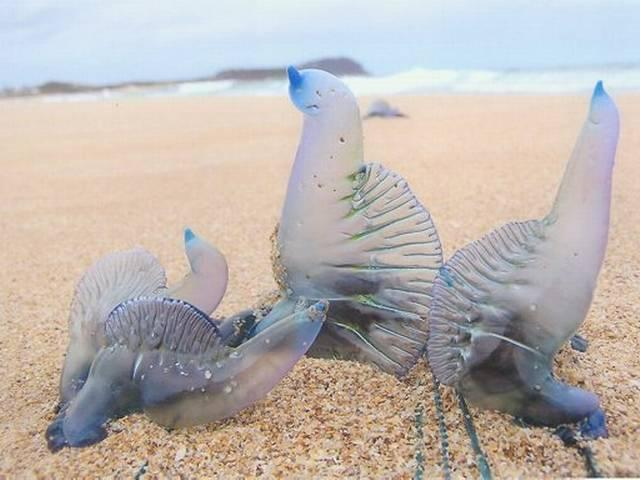 Bluebottles haunting Aussie beach worry holiday