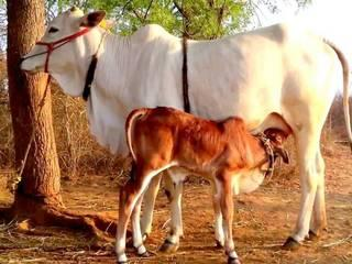 vyakti vishesh_dadri_cow