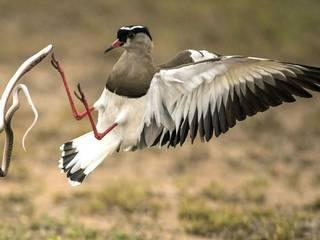 bird fights sanke for the sake of her eggs