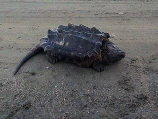 a Crocodile or a Turtle?