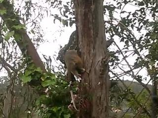 python swallows a large possum WHOLE after capturing it up a tree