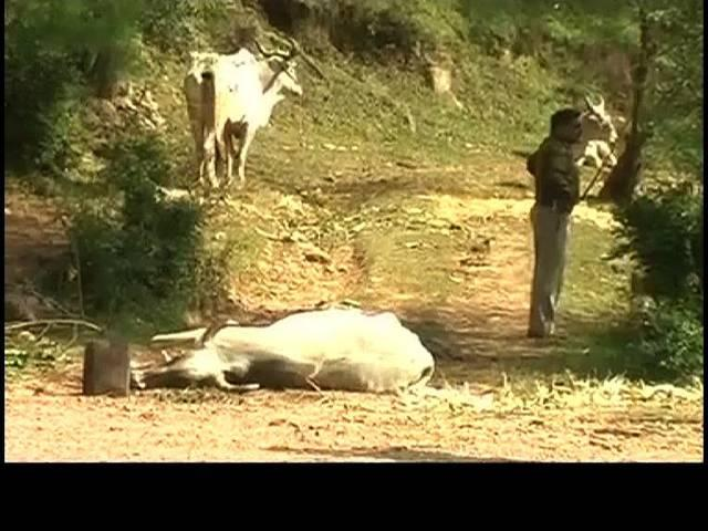 full information on cow smuggling