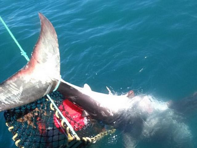 man caught shark accidently