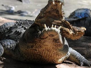 11,000_Crocodiles_Starving_Death