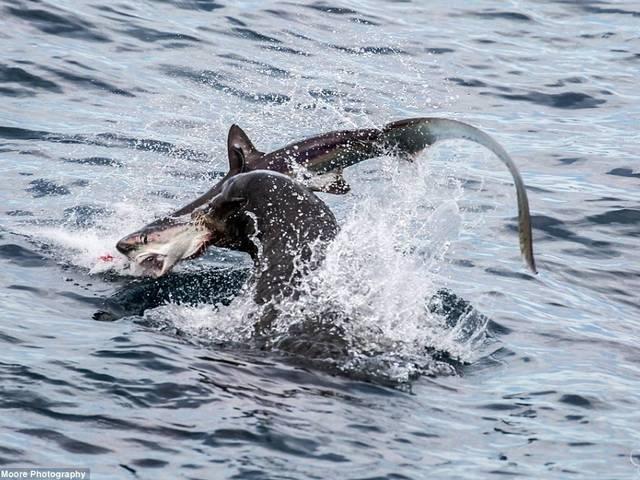 sea lions hunt shark