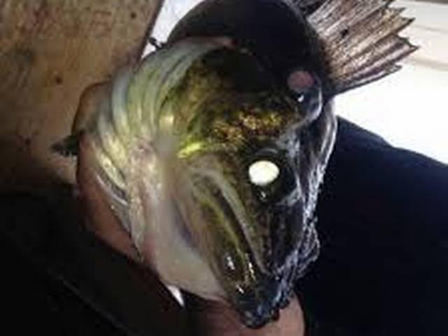 New York_Three_Eyed_Fish