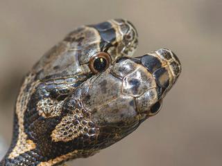 Jason Talbott_Rare_Two-Headed_Snake