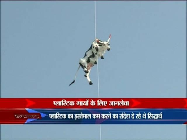 cow shaped balloon creates scourge in jaipur