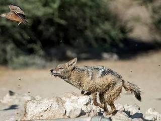jackal in wait for flocks of birds gets no birds