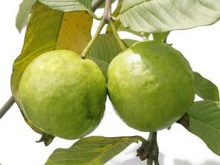 Benefits And Uses Of Guava (Amrood)