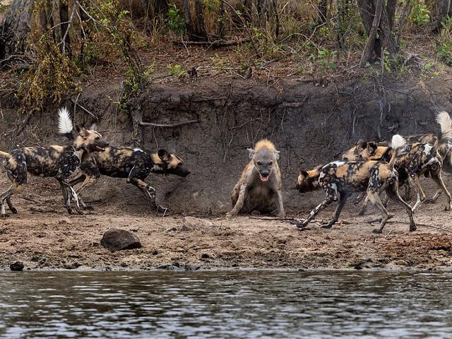 Hyena_Wild Dogs