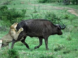 bull rescues buffalo from lions