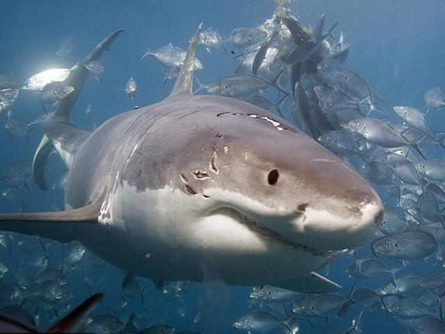 great white attacked a juvenile shark gallery