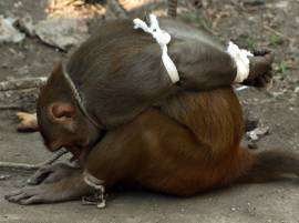 In photos: Monkey caught, tied & caged in Mumbai for thieving