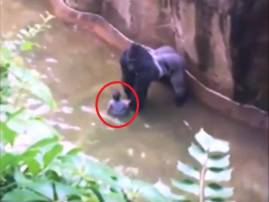 Watch: Baby falls into gorilla's enclosure, zoo's security guards kill ape to save toddler
