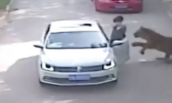 Video: Tigers kill woman, injure another after they leave car at safari park